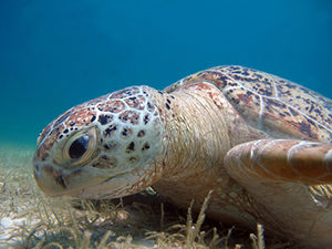 Green sea turtle (Chelonia mydas) eating sea grass