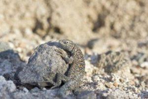 Fabian's lizard (Liolaemus fabiani), Atacama Desert, Chile.