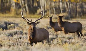 Elk ( Cervus canadensis )