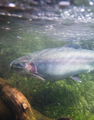 Restored habitat for rainbow trout & other aquatic life