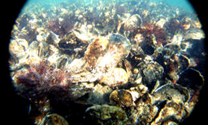 Oysters growing on a constructed reef, one of several pilot projects undertaken to improve water quality within Jamaica Bay