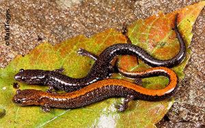Eastern red-backed salamanders (Plethodon cinereus)