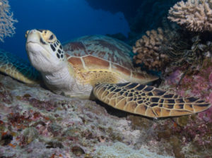 Green sea turtle rgreen sea turtle (Chelonia mydas)