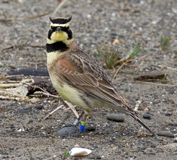 streaked horned lark ©David Maloney, USFWS