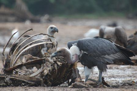White-backed vulture ©Vibhu Prakash