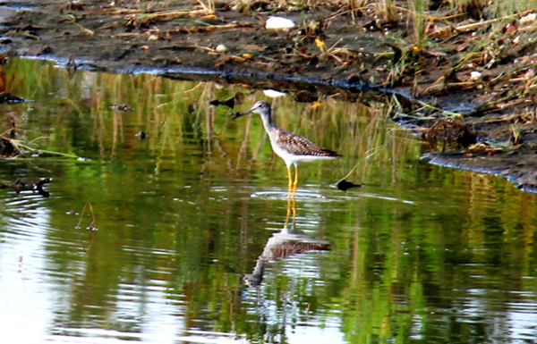 A yellowlegs at the Rockaway BMP